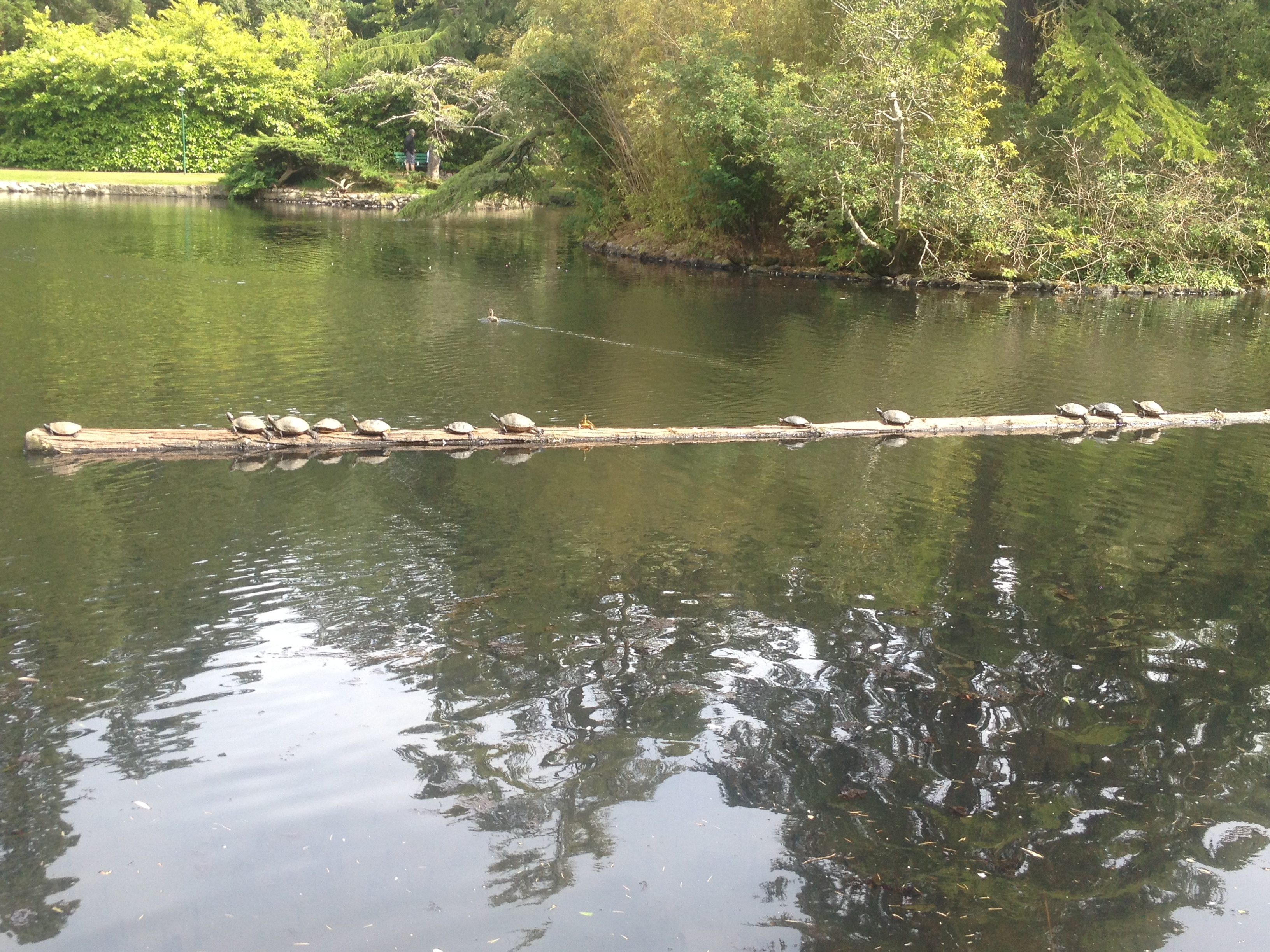 Turtles on a log at Beacon Hill Park
